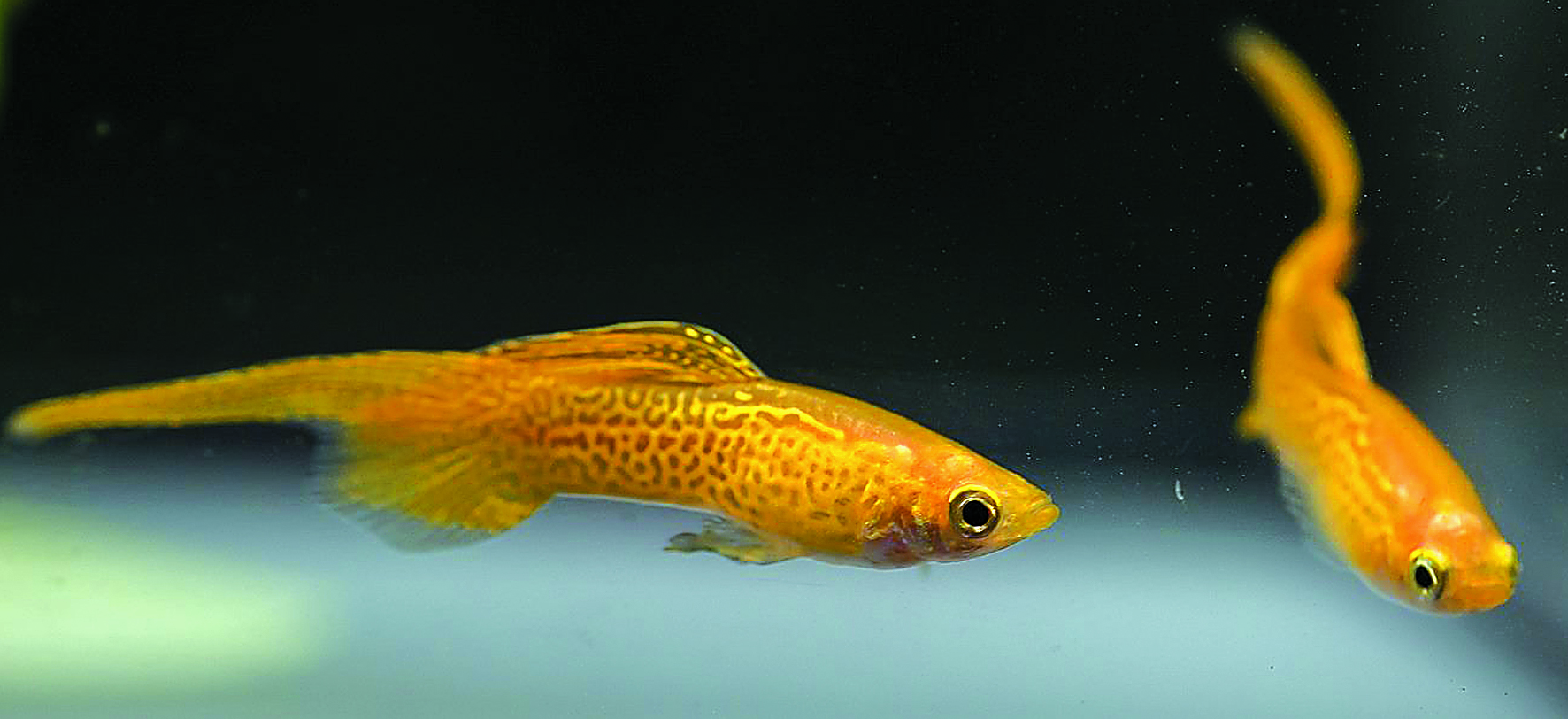 15. Internationales Wiener Guppy - Hochzucht Championat